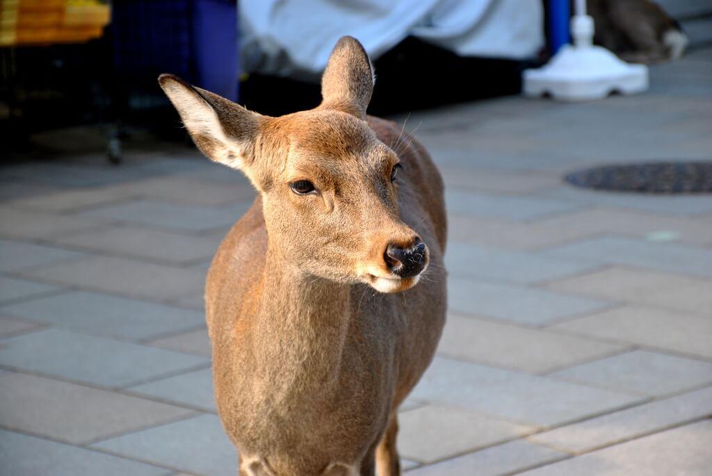 ciervo Sika en Nara